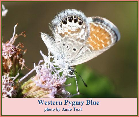 butterfly-western-pygmy-blue