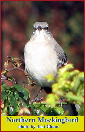 bird-mockingbird1