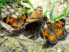 butterfly-puddling2