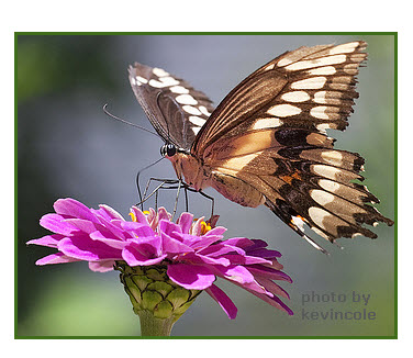 symbiotic relationship between butterfly and flower