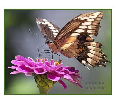 butterfly-flower-proboscus