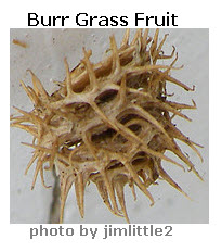 grass-burr-fruit