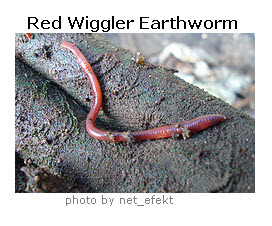 worms-redwiggler1