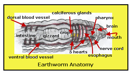 Earthworm: Respiration System | VanCleave\'s Science Fun