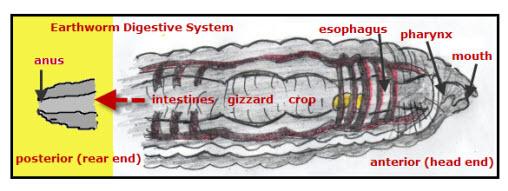 Earthworm: Digestive System