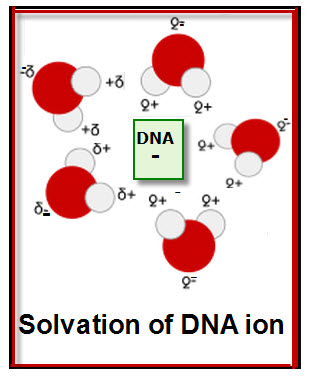 Solvation of DNA