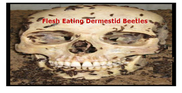 Methods of Removing Flesh From Bones