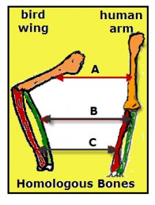 Homologous Bones in Bird Wing and Human Arm