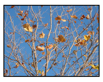 Deciduous Tree in Autumn