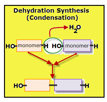 making and breaking polymers vancleave 39 s science fun : dehydration synthesis diagram - findchart.co