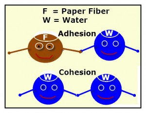 An animated diagram of water and fiber molecules. Fiber to water - adhesion, water to water-cohesion.
