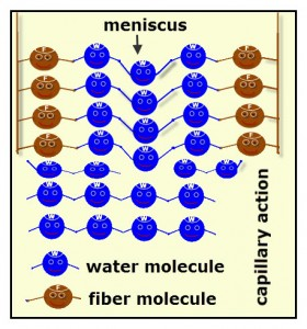 The adhesion between fiber and water molecules and the cohesion between water molecules results in capillary action.