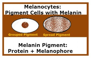 The diagram represents two melocytes, one with grouped melanin pigment and the other with melanin pigment spread throughout.