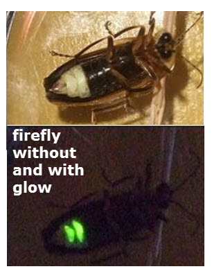 The two fireflies pictures are of the same firefly. In the bright light, the glow is not visible, but also these insects do not glow all the time.